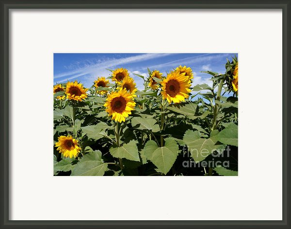 Sunflower Field Framed Print By Kerri Mortenson