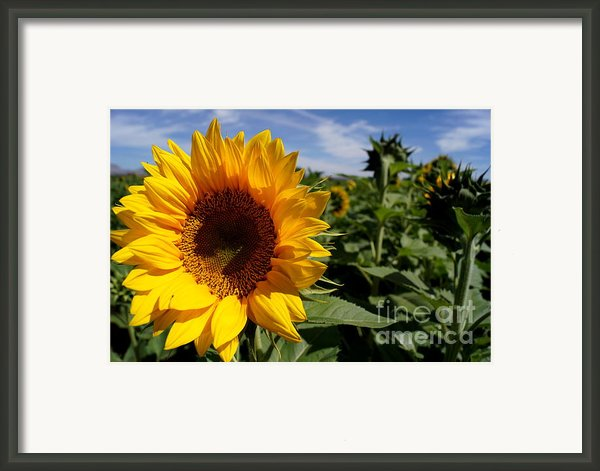 Sunflower Glow Framed Print By Kerri Mortenson