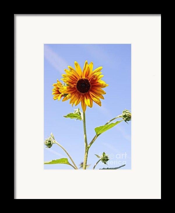 Sunflower In The Sky Framed Print By Kerri Mortenson