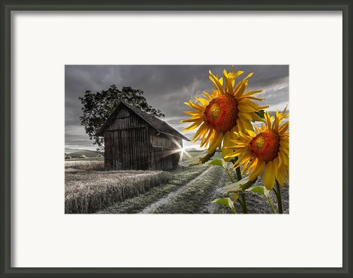 Sunflower Watch Framed Print By Debra And Dave Vanderlaan