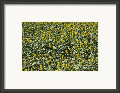 Sunflowers In Chianti Framed Print By Sami Sarkis