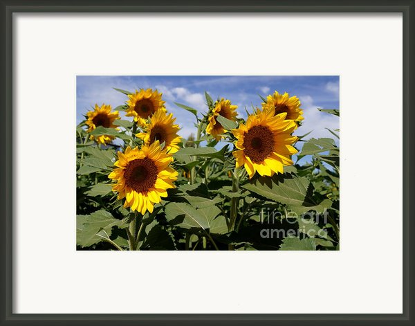 Sunflowers Framed Print By Kerri Mortenson
