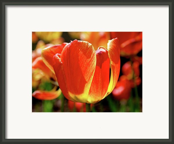 Sunlit Tulips Framed Print By Rona Black