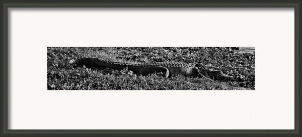 Sunny Alligator Black And White Framed Print By Joshua House