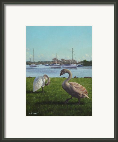 Swans At Christchurch Harbour Framed Print By Martin Davey