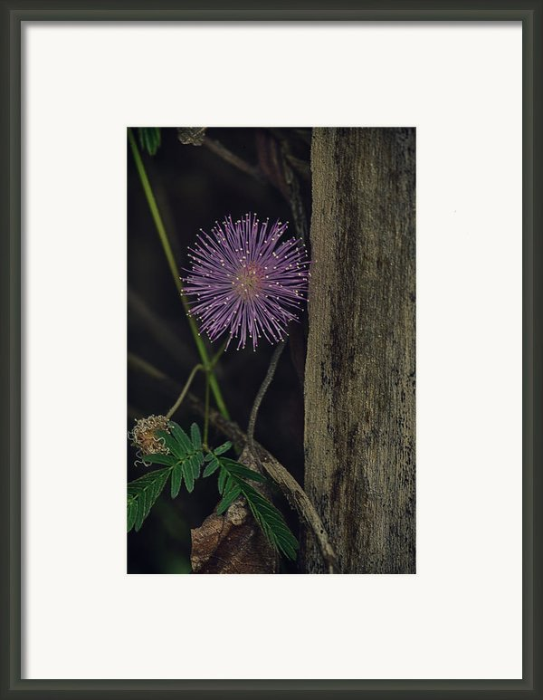 Thailand  Purple Wild Flowers Framed Print By David Longstreath