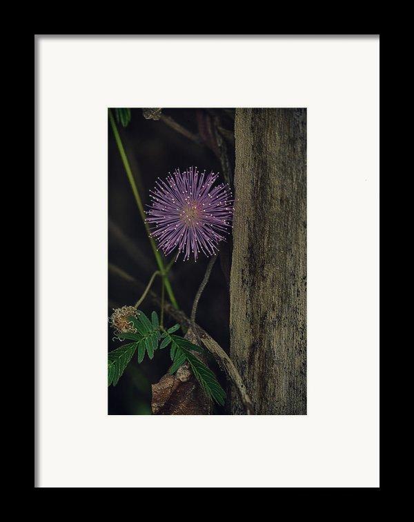 Thailand  Purple Wild Flowers Framed Print By David Longstreath
