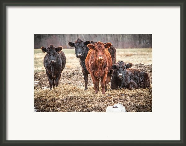 The Angry Cows Framed Print By Gary Heller