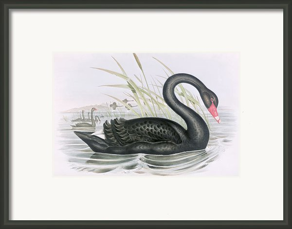 The Black Swan Framed Print By John Gould