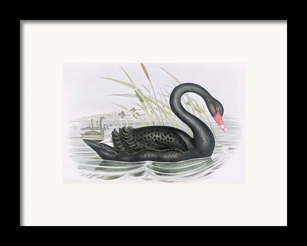The Black Swan Framed Print By John Gould