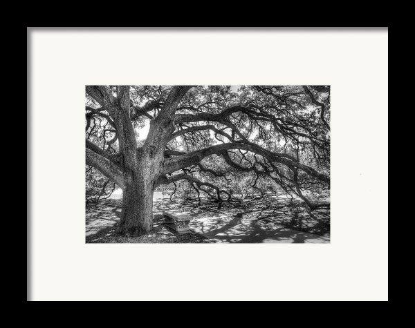 The Century Oak Framed Print By Scott Norris
