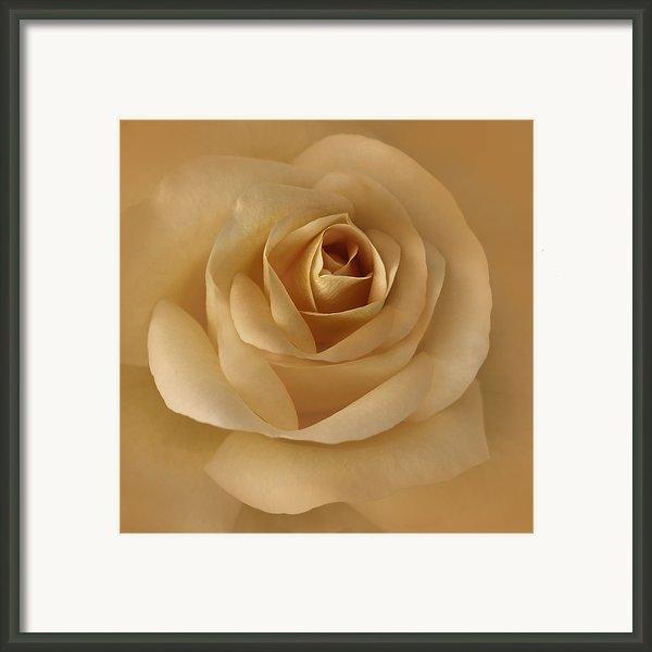 The Golden Rose Flower Framed Print By Jennie Marie Schell