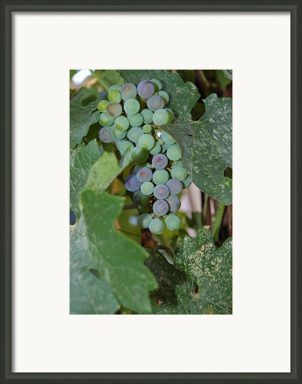 The Grapes Framed Print By Holly Blunkall