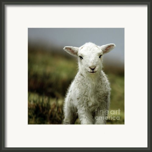 The Lamb Framed Print By Angel  Tarantella