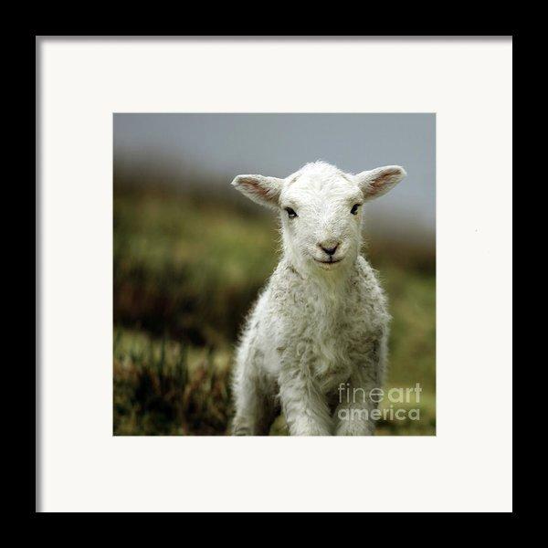 The Lamb Framed Print By Angel  Tarantella