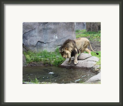 The Lion In Winter Framed Print By Helen Fern