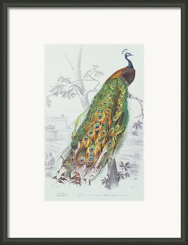 The Peacock Framed Print By A Fournier