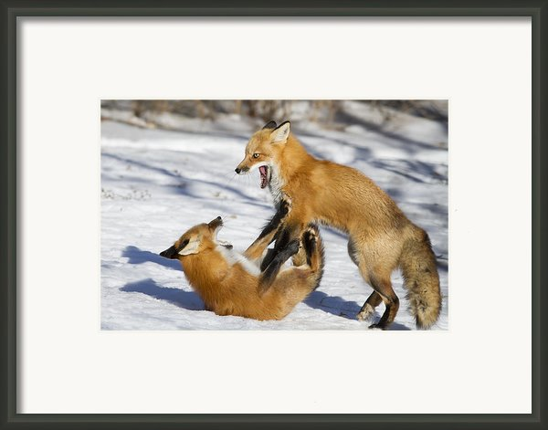 The Rivals Framed Print By Mircea Costina Photography