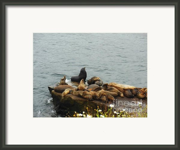 The Sea Lion And His Harem Framed Print By Mary Machare