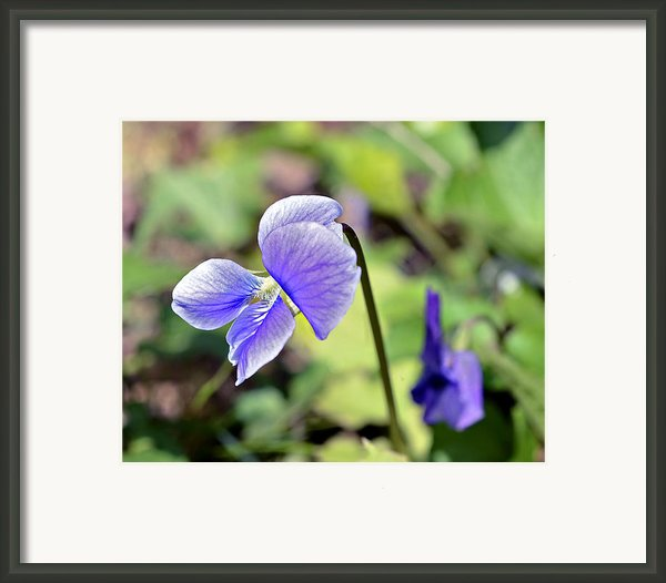 The Violet Framed Print By Susan Leggett