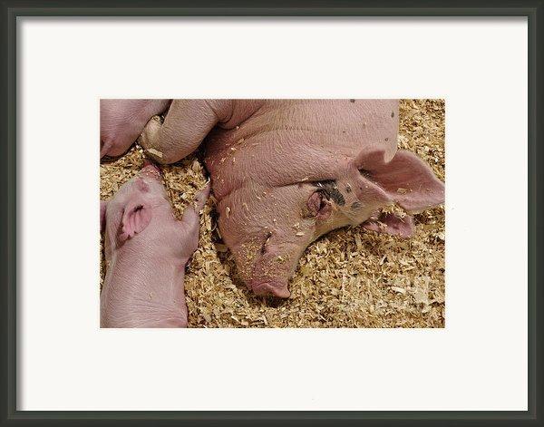 This Little Piggy Framed Print By Luke Moore