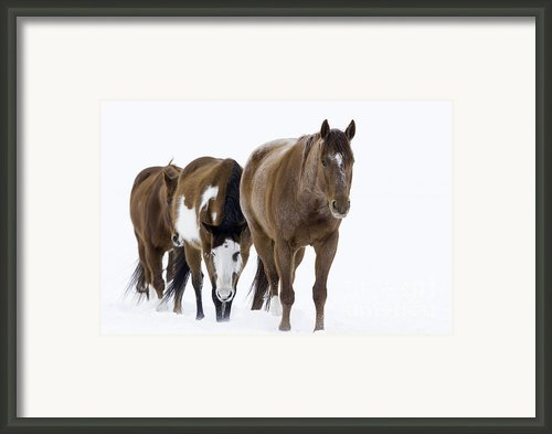 Three Horses Walking Through The Snow Framed Print By Carol Walker