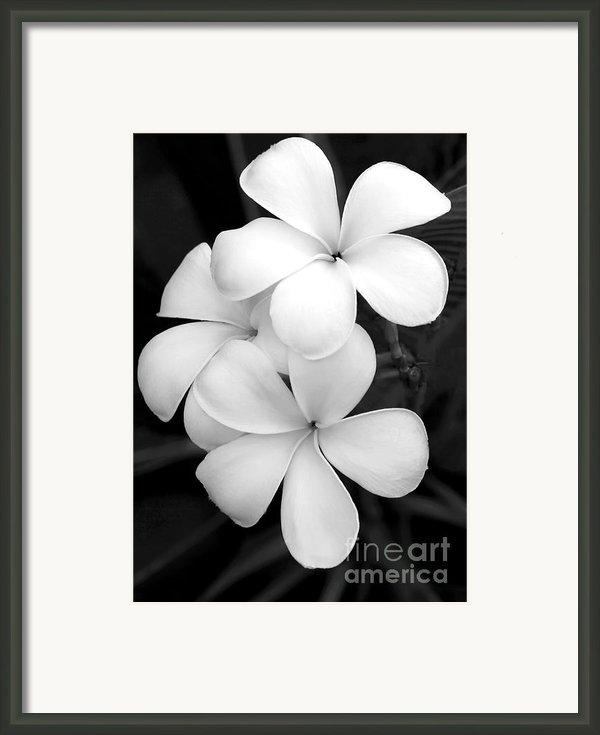 Three Plumeria Flowers In Black And White Framed Print By Sabrina L Ryan