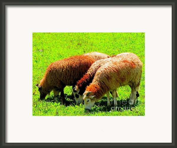 Three Sheep Framed Print By Annie Zeno