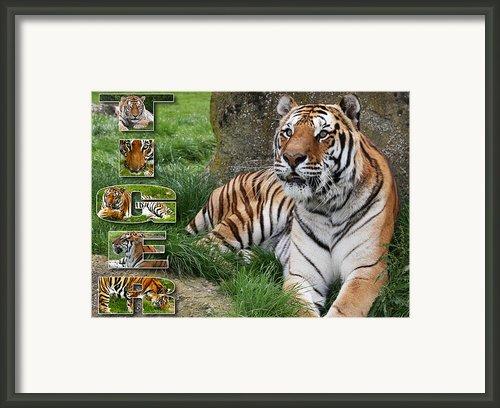 Tiger Poster 1 Framed Print By John Hebb