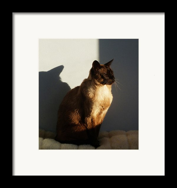 Tonkinese Sunlit Nap Framed Print By Margaret Saheed