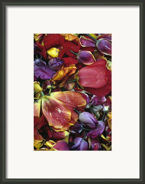 Tulip Heads Framed Print By Jim Corwin