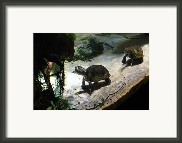Turtle - National Aquarium In Baltimore Md - 121218 Framed Print By Dc Photographer