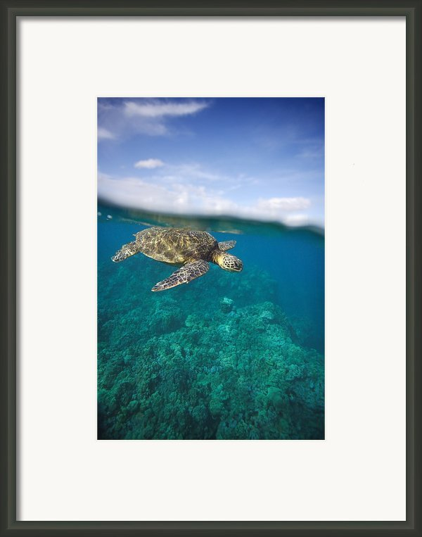 Turtle Underwater 19 Framed Print By M Swiet Productions