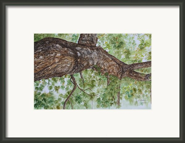 Twisted Maple Framed Print By Patsy Sharpe