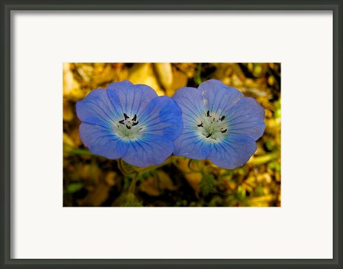 Two Baby Blue Eyes In Park Sierra-ca Framed Print By Ruth Hager