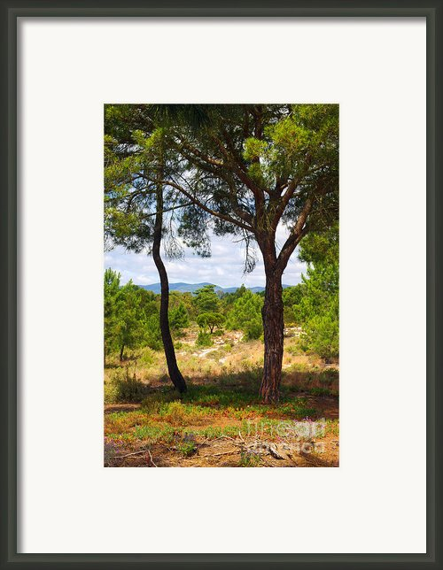 Two Pine Trees Framed Print By Carlos Caetano