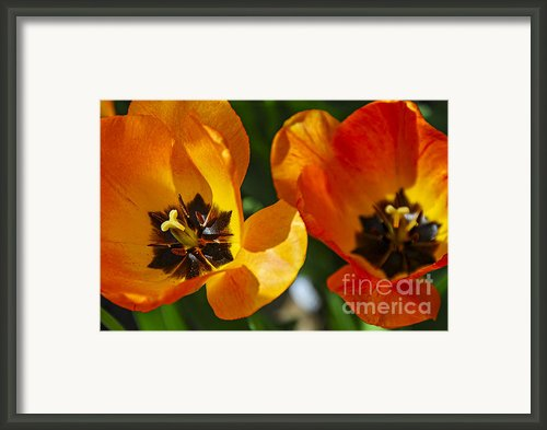 Two Tulips Framed Print By Elena Elisseeva