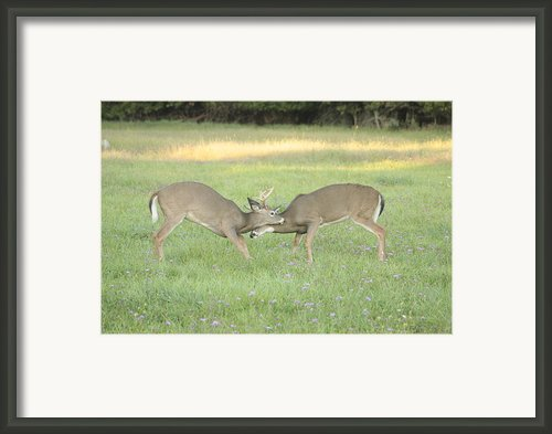Two Young Bucks Rut Sparring Framed Print By Jim Lepard