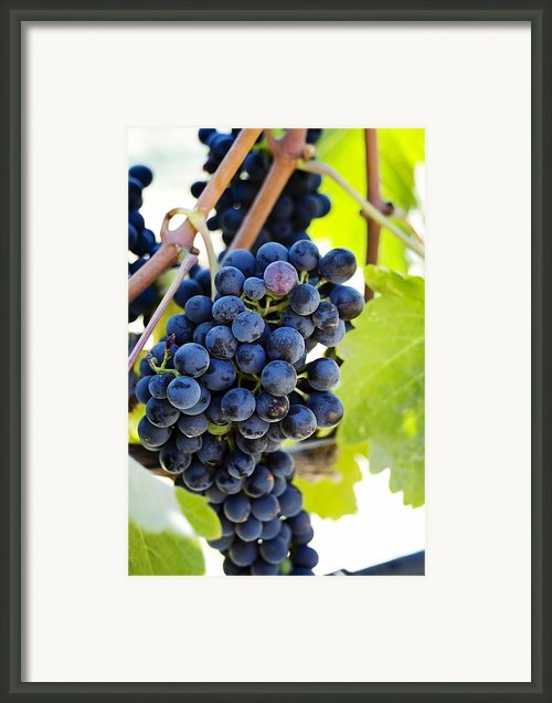 Vineyard Grapes Framed Print By Charmian Vistaunet