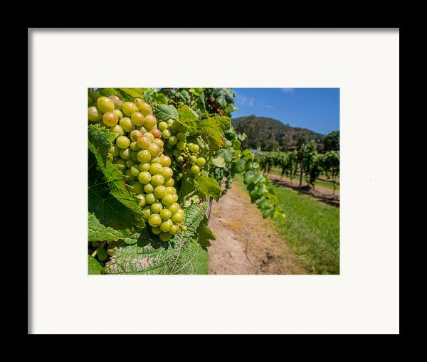 Vineyard Grapes Framed Print By Justin Woodhouse