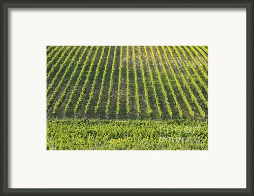 Vineyards In Chianti Region Framed Print By Sami Sarkis