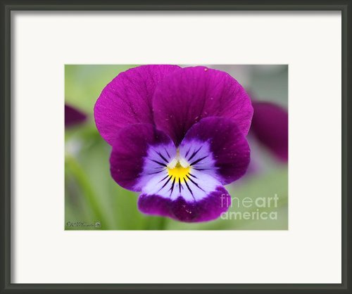 Viola Named Sorbet Plum Velvet Jump-up Framed Print By J Mccombie