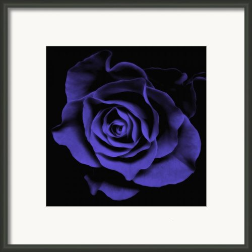 Violet Blue Rose Ii - Flowers Macro Fine Art Photography Framed Print By Artecco Fine Art Photography - Photograph By Nadja Drieling
