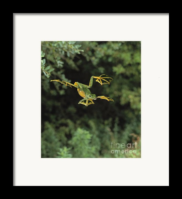 Wallaces Flying Frog Framed Print By Stephen Dalton