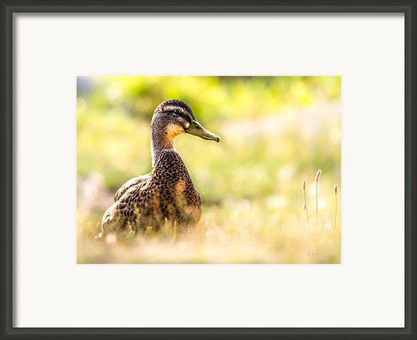 Warm Summer Morning And A Duck Framed Print By Bob Orsillo
