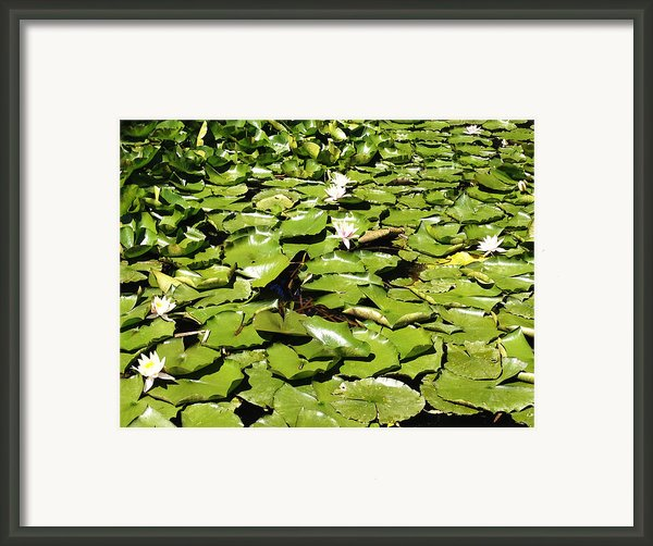 Water Lillies Framed Print By Les Cunliffe