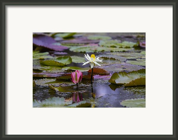 Water Lillies9 Framed Print By Charles Warren