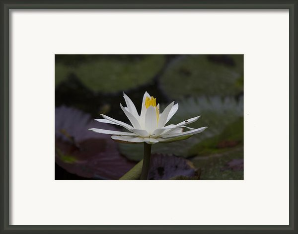 Water Lilly7 Framed Print By Charles Warren