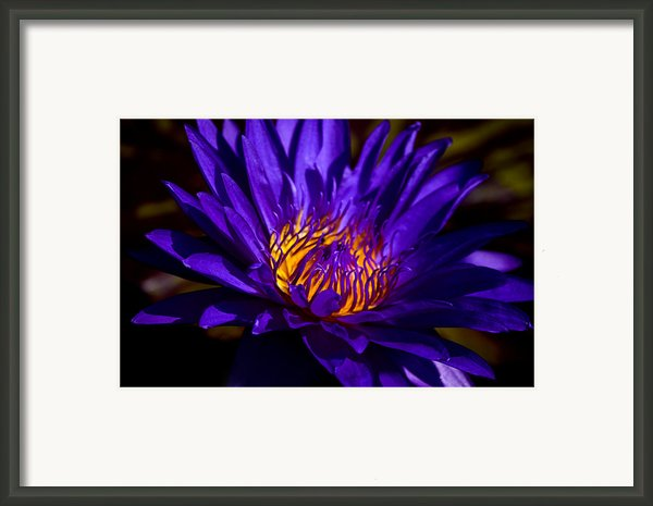 Water Lily 7 Framed Print By Julie Palencia