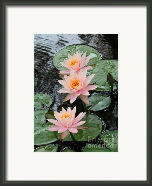 Water Lily Trio Framed Print By Sabrina L Ryan
